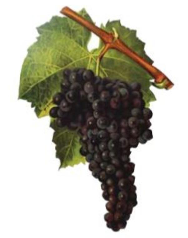 Grenache Grapes