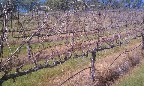 Unpruned vines
