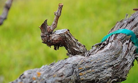 A pruned vine spur