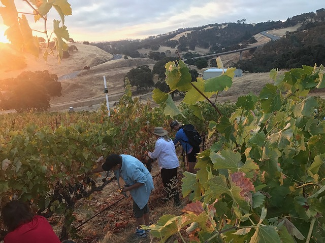 We're out early picking grapes