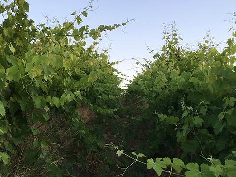 Vines before suckering