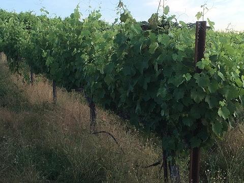 Vines after suckering