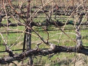 An un-pruned vine