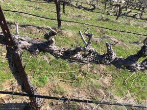 Pruning - A pruned Vine